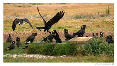 Images by Christine Walsh: yellow-tailed black cockatoos. Barwon Heads. Vic