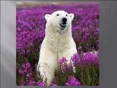 Ours blanc printanier