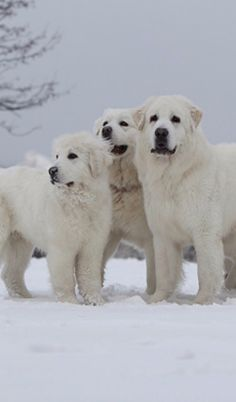 Polish Tatra Sheepdog. The guardian angel of the Carpathians
