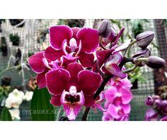 Phalaenopsis PHM 031 Cranberry Cha Cha