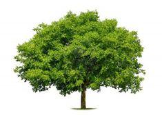 arbres   Envie de planter un arbre au sein de votre jardin ? Plutôt Caducs ou ...