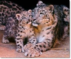 mother-baby-leopard