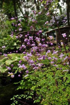 Thalictrum delavayi My Secret Garden, Garden Design, Plants, Vegetation, Shade Garden, Dream Garden, Flowers, Dark Flowers, Garden Plants