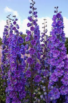 Garden info: Delphiniums