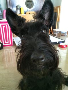 Precious  | we love scotties at www.northtexasscottierescue.com