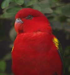 Gorgeous Red Chattering Lory