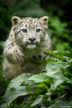 "A Snow Leopard Cub:  ""Jump!"" (Title Given By The Photographer: © Georg Sieder on 500px.)"