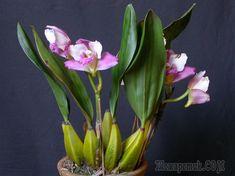 Ароматная орхидея бифренария – рискнете вырастить красавицу?