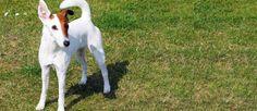 Dit ras wordt beschouwd als een van de oudste terriërs. Ze zijn in de 18e eeuw in Engeland ontstaan als een vossenjager en rattenvanger. Hoewel ze niet zo populair zijn als andere terriër rassen, zijn ze goed bekend. Vandaag de dag is de gladharige Fox Terrier vooral een familie metgezel en showhond..