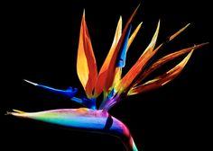 Bird of Paradise!   Jason Shaeffer   Flickr Paradise Flowers, Exotic Flowers, Love Birds, Artist, Artists, Amen