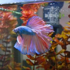 "Rosetail Betta: Rosetail and Feathertail is an extreme Halfmoon with excessive branching of the rays giving the tail a ""ruffled"" edge. It has so much finnage that it overlaps like a rose. These fish are hard to breed on as the excessive mutations that cause the branching can lead to other mutations such as poor scales and short ventral fins. Can be seen in longfin and shortfin. http://betta-plakat.blogspot.com/2011_06_01_archive.html"