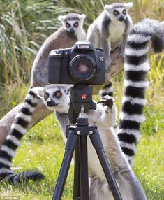 Strike a pose: The little lemur stares intently at his subject as he stands behind a camera.
