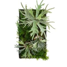 Living Wall Staghorn Fern from Z Gallerie Rare Plants, Exotic Plants, Exotic Flowers, Staghorn Plant, Fern Plant, Succulent Wall, Succulent Gardening, Hanging Plants, Indoor Plants