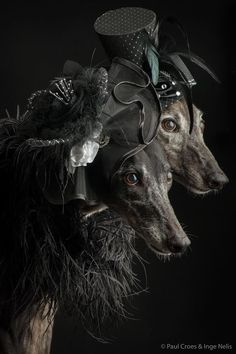 Greyhounds by Paul Croes