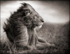 lion before storm sitting profile
