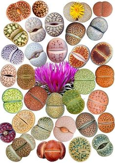 Range  of Colors in Living-stone: Lithops [Family: Aizoaceae]