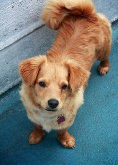 ADOPTED !! Alvin is a Cocker Spaniel & Corgi mix with Family Dog & Puppy Rescue in #SanFrancisco #CALIFORNIA