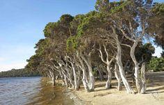 Melaleuca (Papeerbark )Trees near Nanarup, Albany Western Australia.