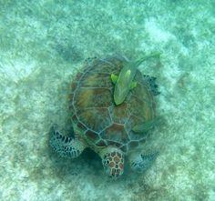Подвожу итог нашего двухнедельного посещения Карибского побережье Мексики в той части этого побережья, которая называется Ривьера майя (Riviera maya), а совсем уж точно - земля черепах