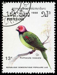 Psittacula roseata, Laos, 1988