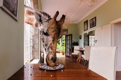 This is one of the best photos from the National Geographic Traveler Photo Contest - a giraffe isn't your average dinner guest! National Geographic Photo Contest, National Geographic Travel, Funny Giraffe, Photo Competition, Photography Contests, Giraffe Print, Nairobi, Animal Pictures, Funny Pictures