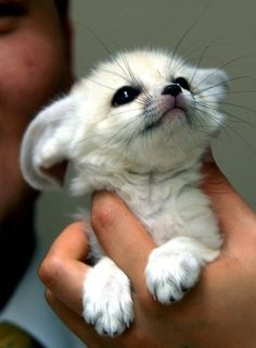 The cutest animal in the world - The Fenec Fox