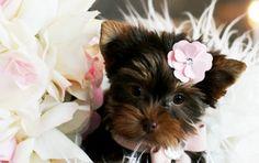 Yorkies For Sale, Teacup Yorkies, Teacup yorkie puppies