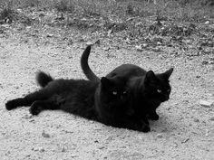 Black Cats by HollyMarieMa on deviantART Beautiful black cats. Thejavawitch