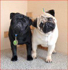 Black pug with fawn pug #puglife