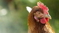 Bad Chicken, Chicken Runs, Raising Backyard Chickens, Keeping Chickens, Pekin Chicken, Dehydrated Chicken, Raising Ducks, Bird Flu, Laying Hens