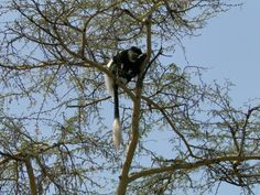 Day 20 #colobus #monkey #kenya #urban-Eco #conservation Kenya, Bald Eagle, Conservation, Monkey, Urban, Holidays, Animals, Vacations, Animales