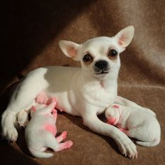 Realistic White Chihuahua Dog With 2 Puppies. Life-size Handmade Needle Felted Wool Sculpture