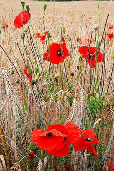 Shop for poppies art from the world's greatest living artists. All poppies artwork ships within 48 hours and includes a money-back guarantee. Choose your favorite poppies designs and purchase them as wall art, home decor, phone cases, tote bags, and more! Wild Poppies, Wild Flowers, Poppy Flowers, Wheat Fields, Garden Styles, Belle Photo, Planting Flowers, Beautiful Flowers, Fine Art America