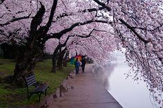 Walk in the cherry blossom,Washington DC