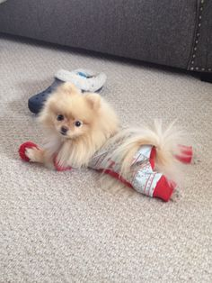 Search Pommy Girls on Facebook! Sophie- pomeranian, dog, dog clothes, cream pomeranian, pom, puppy #pomeranian
