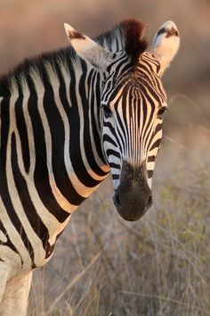 Black and white doesn't get any better than a zebra - gorgeous!