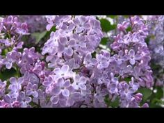 Alexandru Jula -- Cand liliacul va inflori - YouTube Syringa, Seeds, Fragrance, Bring It On, Lilacs, Make It Yourself, 19th Century, Hero, Popular