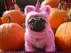 A unicorn pug!!!!!!! Two things that I want so badly! lol