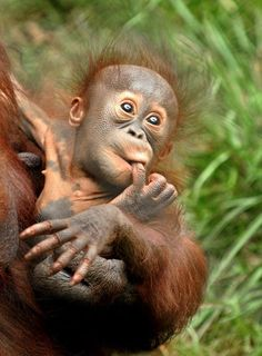 Los Angeles Zoo's little Bornean Orangutan baby is the star attraction these days. She's the second baby for mom Kalim, who is one of four adult females in their Red Ape Rainforest. Father to the new arrival is Minyak, one of two Orangutan males at the Zoo.