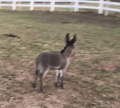My friend bought a fat miniature donkey. Last week she went out to feed it and discovered it hadn't been fat and that she now owns two miniature donkeys. Meet Smokey.