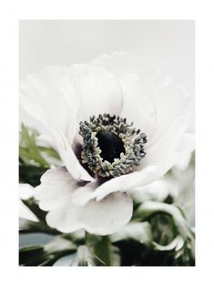 Gorgeous botanical poster of a stunning white anemone flower in close-up. The anemone flower symbolizes many things and depending on the culture it can even symbolize the exact opposite than in another culture. The white anemone in particular Morning Sun, White Anemone Flower, White Flowers, Green Cactus, Cactus Poster, Forest Poster, Poster Photo, Prada Marfa, Poster Store