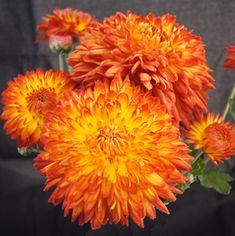 47 Best Antique Mums Images Garden Mum Hardy Mums Perennial Gardens