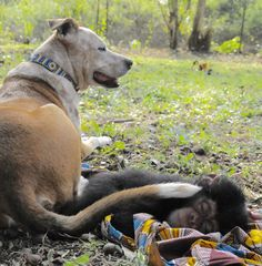 Dog Comforts Lonely Chimps Who've Lost Their Families