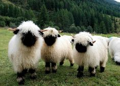 Post with 2229 votes and 96705 views. Tagged with cute, aww, animals, awesome, the great outdoors; Can't look at Valais Blacknose Sheep without wanting to hug them all Fluffy Animals, Cute Baby Animals, Farm Animals, Animals And Pets, Beautiful Creatures, Animals Beautiful, Valais Blacknose Sheep, Black Faced Sheep, Sheep Breeds