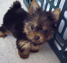 One of my little female yorkies enjoying her forever home. Sweet baby!