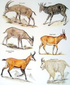 Bovids, Goat - Ibex, Common Goral, Chamois, Mountain Goat - Vintage 1980s Book Plate Page