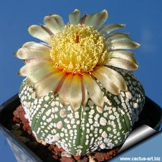 Astrophytum_asterias_superkabuto_star_pompon by cactus-art: Propagate from seed. #Cactus #Astrophytum