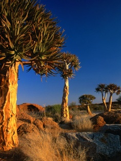 Photographic Print: Quiver Trees, Namaqualand, South Africa Poster by Carol Polich : Augrabies Falls, Sierra Leone, Congo, Seychelles, Cap Vert, Namibia, Le Cap, Out Of Africa, Tree Forest
