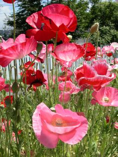 10053FieldOfPoppies
