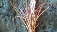 Tillandsia Tricolor Melanocrator